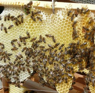 Bienen in Schussenried